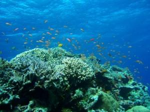 石垣島のサンゴ1