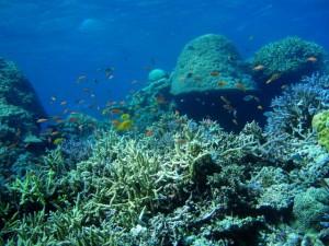 石垣島のサンゴ2